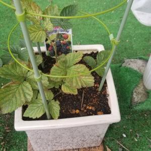 ブラックベリーの鉢植え