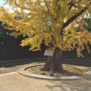 皇居東御苑近く、「大手濠緑地」の震災いちょうが黄色く大きくて美しい!
