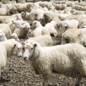 """""""脱!奴隷化「羊たちの集団自殺に学べ」"""""""