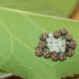 ウメの木の葉にカメムシ幼虫らしきもの