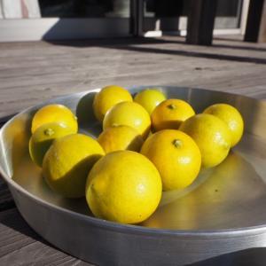 レモンの収穫。唇の内側を噛むのは。