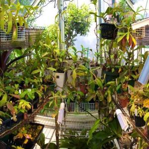 【食虫植物】蒸し暑いのがお好き。