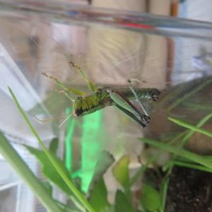 トノサマバッタ幼虫の足がキレイ。