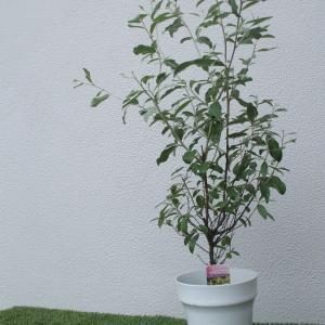 ロシアンオリーブの木を🌳頂きました(*^▽^*)ヤナギバグミ🍬