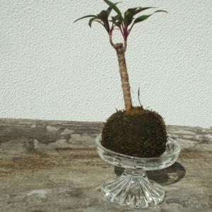 観葉植物の苔玉🌱モスボールを頂きました(#^.^#)流行っている?!のかな