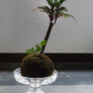 頂いた苔玉🌱モスボールから🍃雑草3兄弟がすくすくと伸びています(*´▽`*)