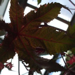 怪しい(*^^*)雰囲気が🎃ハロウィンのアレンジに❕ちょうど良い感じです👻トウゴマ✋手のひらみたいな葉っぱがキュート(*^▽^*)