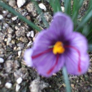 続✾サフランライスへの道🥘我が家のサフラン開花と同時に収穫👣最初の1歩を踏み出しました(*^▽^*)