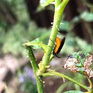 バラの茎に「チュウレンジハバチ」発見