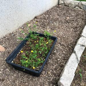 メカルドニアを花壇へ移植しました。