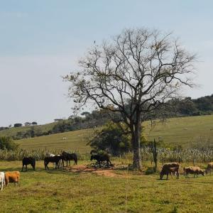 広大な牧場と牛たち