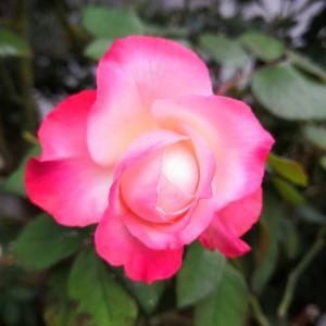 庭のバラが咲いて金木犀も満開