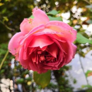 イングリッシュ・ローズが咲きました