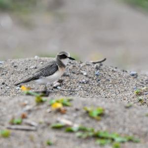 海岸で見たメダイチドリ