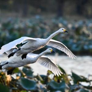 瓢湖の白鳥 2