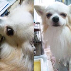 犬の混合ワクチン接種でアレルギーが出た実例写真です。