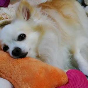 犬が手術する時の全身麻酔のリスク。死にかけました。
