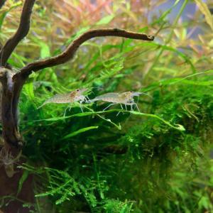 孵化5カ月目のヤマトヌマエビに異変