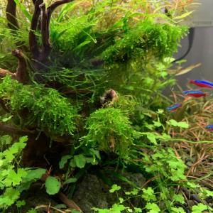 ウィーピングモスの植栽3ヶ月