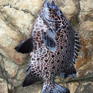 がまかつ がま石 「レギスIIくわせ」で置き竿にて数釣りその1〜シマノ「リアルパワー石鯛」との比較から