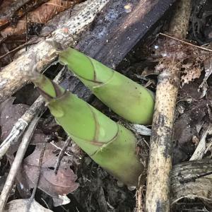 近所の密林タケノコハント!