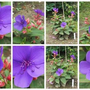 「紫紺野牡丹の花が咲きました」 MY GARDEN 2020.07.04日撮影
