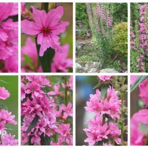 「禊萩の花が咲きました」 MY GARDEN 2020.07.08日撮影