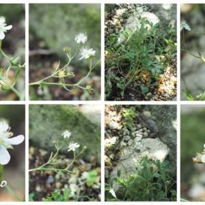 「白花金梅の花が咲きました」 MY GARDEN 2020.07.10日撮影