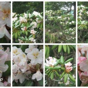 「白山石楠花の花が咲きました」 MY GARDEN 2020.07.12日撮影