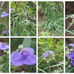 「大紫露草の花が咲きました」 MY GARDEN 2020.07.15日撮影
