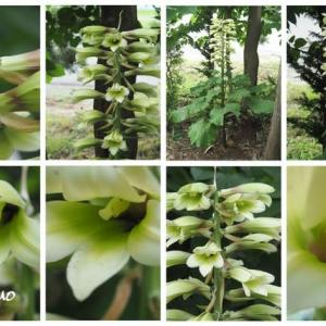 「大姥百合の花が咲きました」 MY GARDEN 2020.07.18日撮影