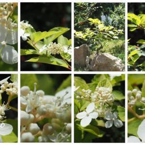 「糊空木の花が咲きました」 MY GARDEN 2020.07.18日撮影