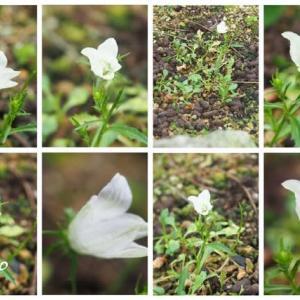 「白花岩桔梗の花が咲きました」 MY GARDEN 2020.07.22日撮影