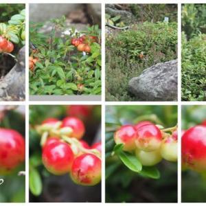 「苔桃の実が生りました」 MY GARDEN 2020.07.24日撮影