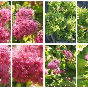 「下野の花が咲きました」 MY GARDEN 2020.08.01日撮影