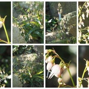 「屋久島鶏尾蘭の花が咲きました」 MY GARDEN 2020.08.01日撮影