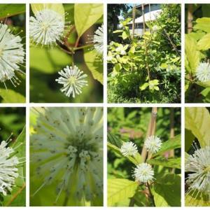 「谷渡りの木の花が咲きました」 MY GARDEN 2020.08.11日撮影