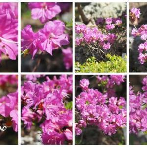 「深山霧島の花が咲きました」 MY GARDEN 2021.06.06日撮影