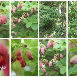 「瓔珞躑躅の花が咲きました」 MY GARDEN 2021.06.06日撮影