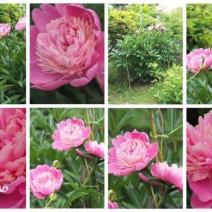 「芍薬の花が咲きました」 MY GARDEN 2021.06.15日撮影