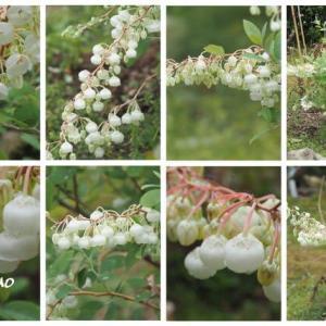 「鈴蘭の木の花が咲きました」 MY GARDEN 2021.06.20日撮影