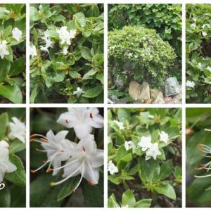 「米躑躅の花が咲きました」 MY GARDEN 2021.07.04日撮影