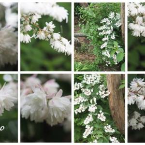 「更紗空木の花が咲きました」 MY GARDEN 2021.07.07日撮影
