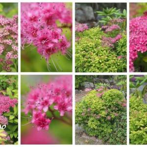 「下野の花が咲きました」 MY GARDEN 2021.07.07日撮影