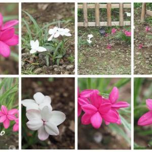 「アッツ桜の花が咲きました」 MY GARDEN 2021.07.10日撮影
