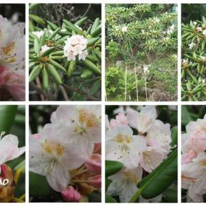 「日高石楠花の花が咲きました」 MY GARDEN 2021.07.12日撮影