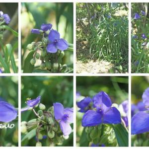「大紫露草の花が咲きました」 MY GARDEN 2021.07.15日撮影