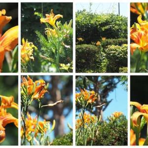 「藪萱草の花が咲きました」 MY GARDEN 2021.07.31日撮影