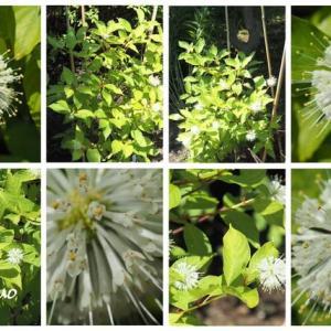 「谷渡りの木の花が咲きました」 MY GARDEN 2021.08.03日撮影