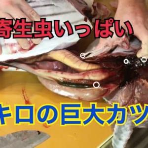 8キロの巨大カツオを日本刀で捌いたら、寄生虫がいっぱい出てきた